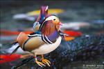 Mandarin Duck - 01