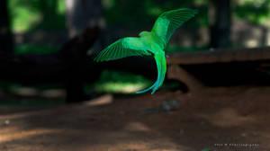 Parrot - Rose-ringed Parakeet