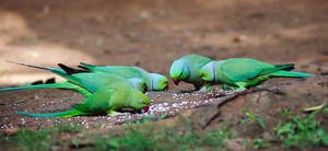 Its Lunch Time - Parrot