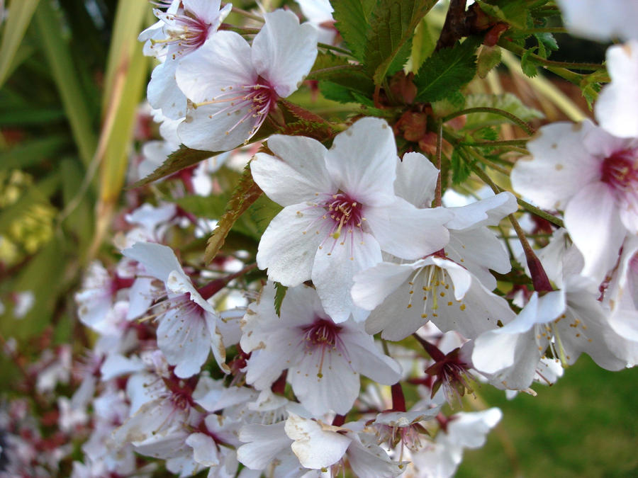 Cherry Blossom by karpoozi