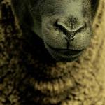 SHEEPISH by El-Amigo-Chico