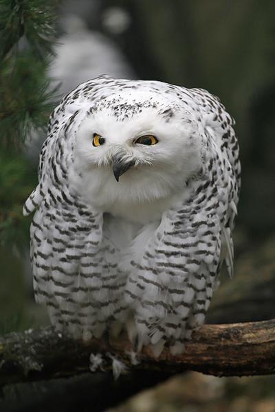 Dr. Owl by Saromei