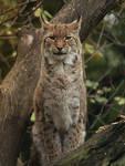 Lynx Model by Saromei