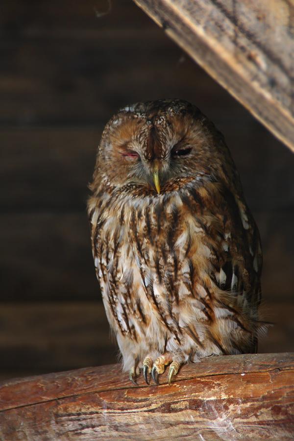 Sleepy Owl by Saromei