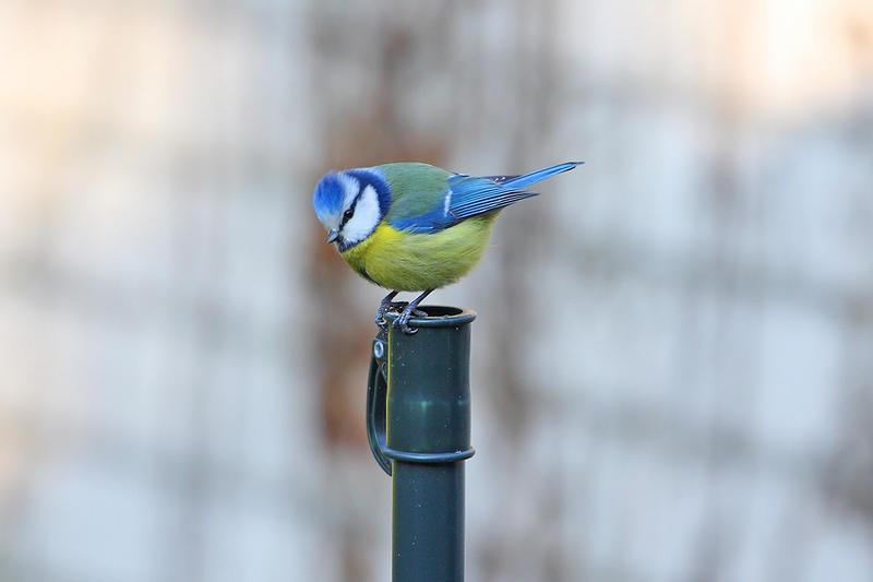 Eurasian Blue Tit by Saromei