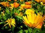 That one yellow flower by Houlton