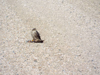 sparrow hawk and some road kill by lasair44