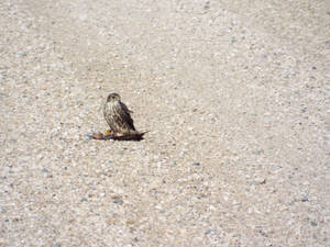 sparrow hawk and some road kill