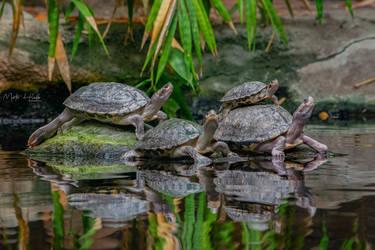 Brown roofed turtle (Pangshura smithii) by Hladik99