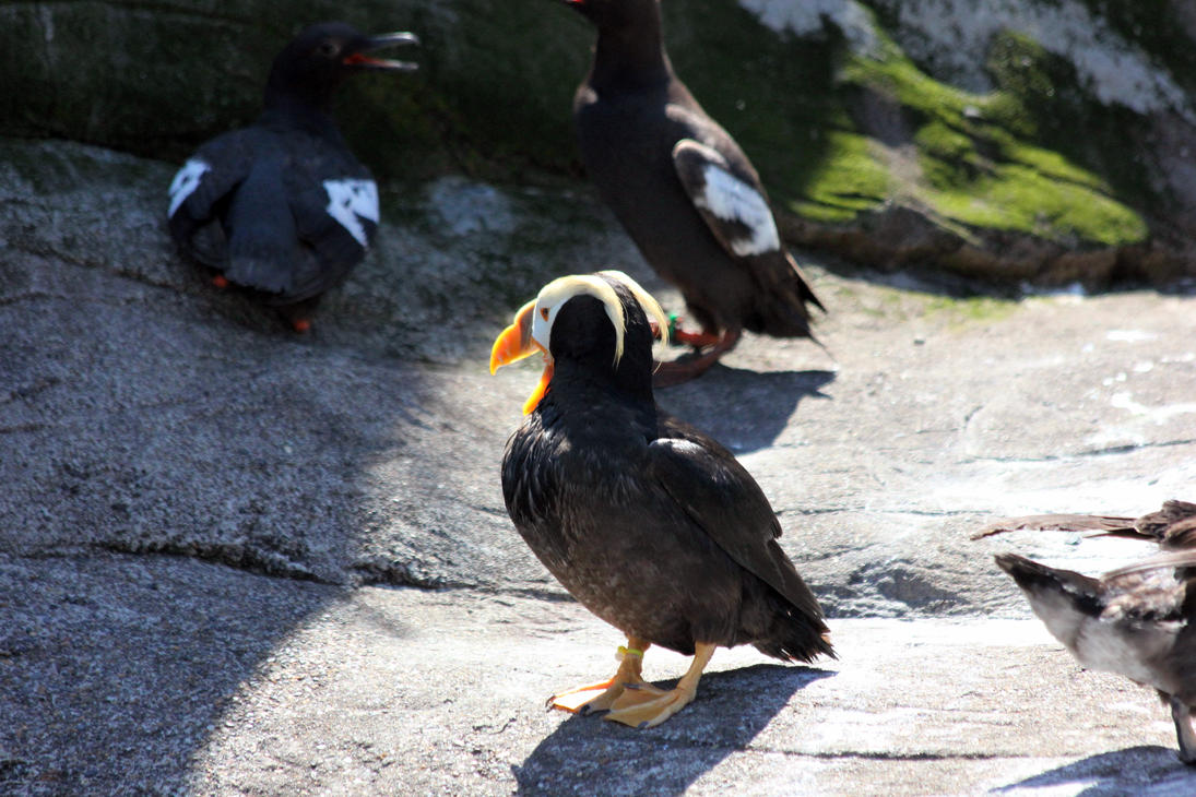 Tufted Puffin by davecbend