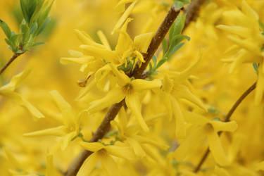 Yellow Spring by CalendarCat