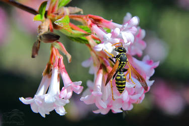 Polistes gallicus on Viburnum flower by HoremWeb