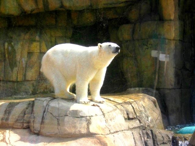 Polar Bear 1 by vanillabuds