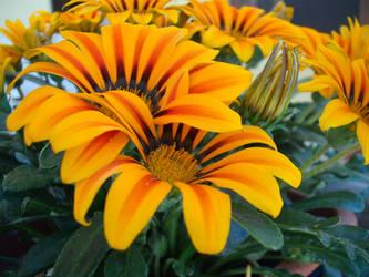Wonderful Orange Flower by Siddhartha612