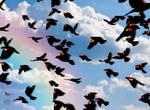 Redwing Blackbirds by CherokeeGal1975
