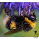 Bumblebee in the community garden