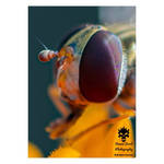 Hover fly eye in macro