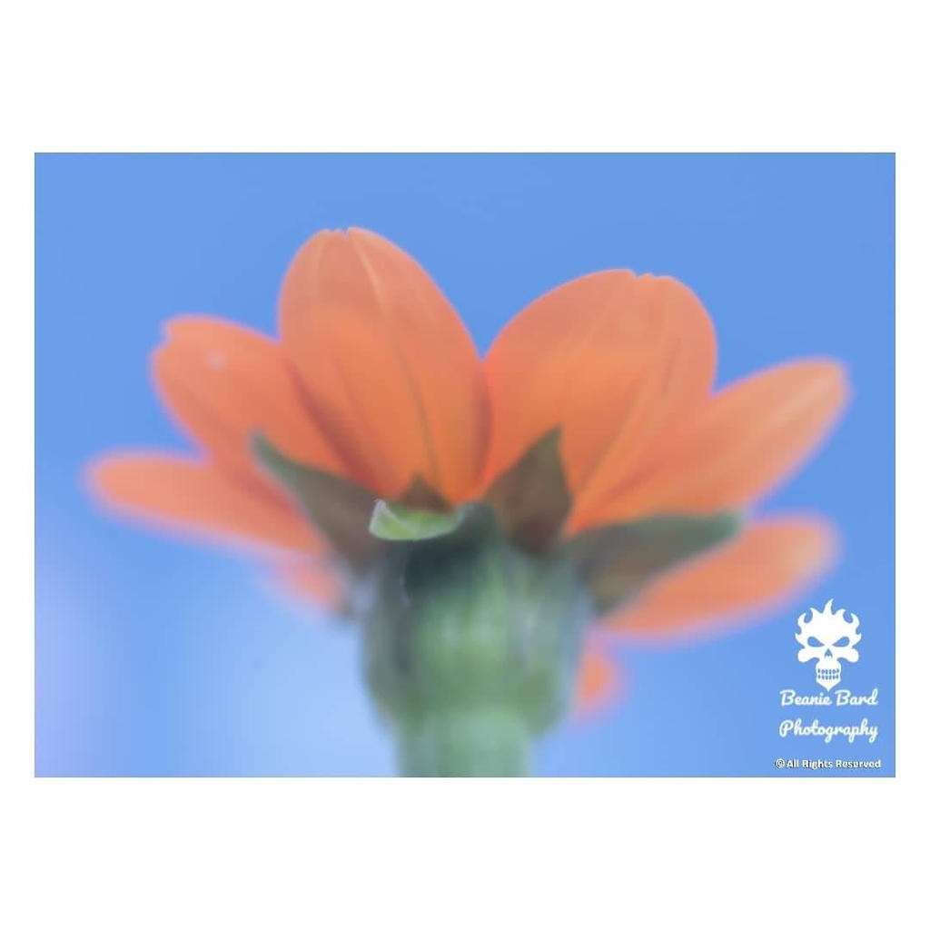Mexican Sunflower soft filter