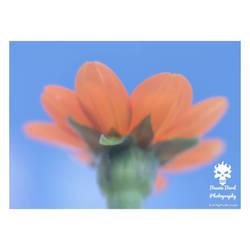 Mexican Sunflower soft filter