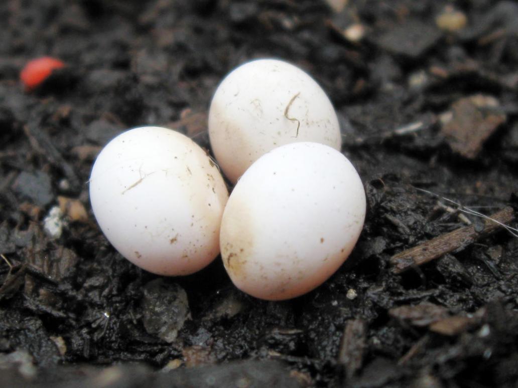 skink eggs Gallery