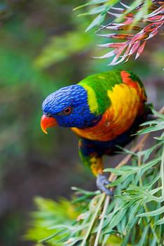 Rainbow Lorikeet 43