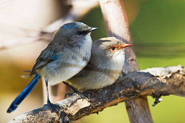 Blue Wrens 1 by mfunnell