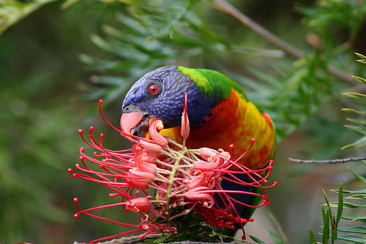 Rainbow Lorikeet Feeding 2