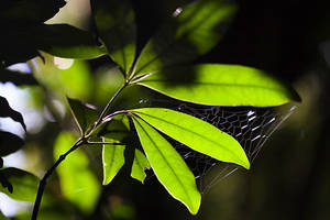 Leaves and Web 1