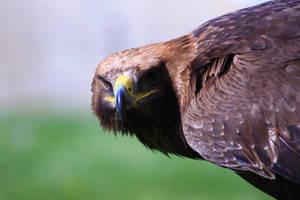 Golden Eagle Exclusives
