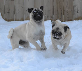 Pug Snow Plows (Pugs Playing In The Snow)