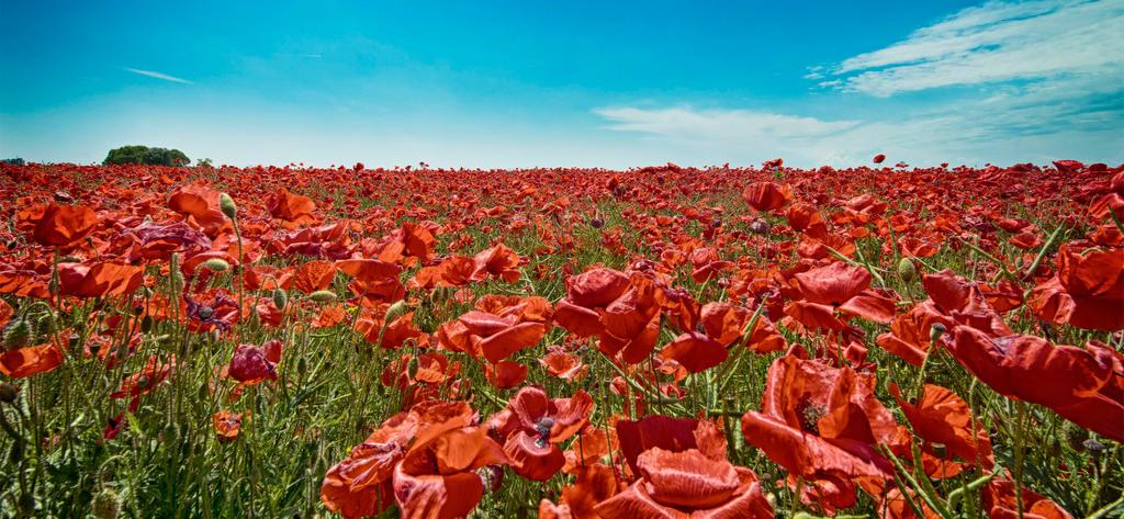 Red poppy by Photoarus
