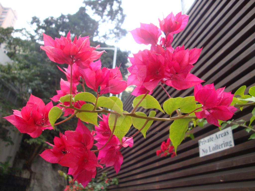 Hong Kong Orchid by amyhearts2sing