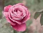 a rose for u