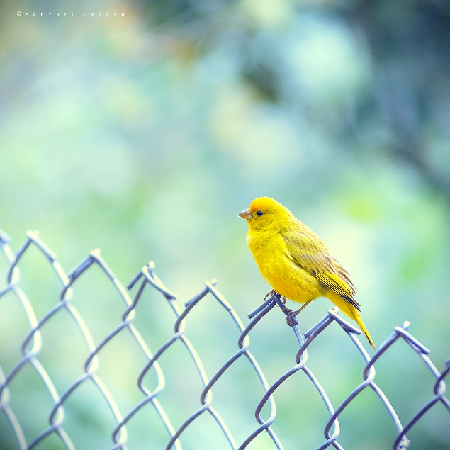 Golden sparrow by Cochalita