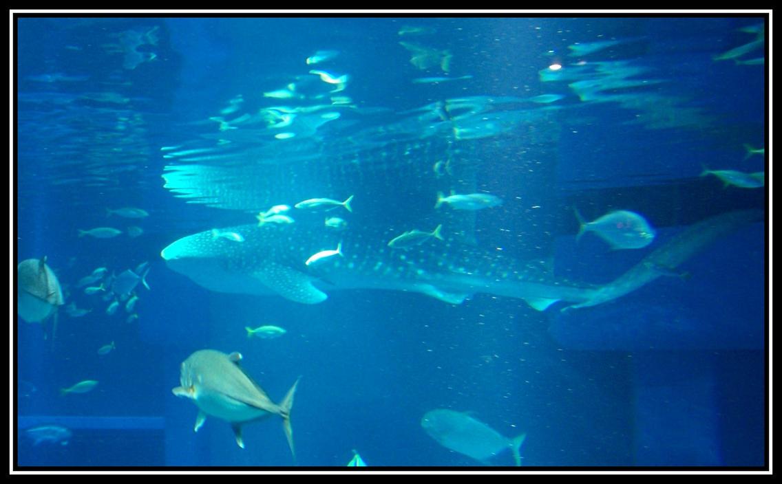 whale shark at osaka aquarium by rollwurst on deviantart