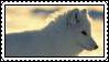 arctic fox by bunsona