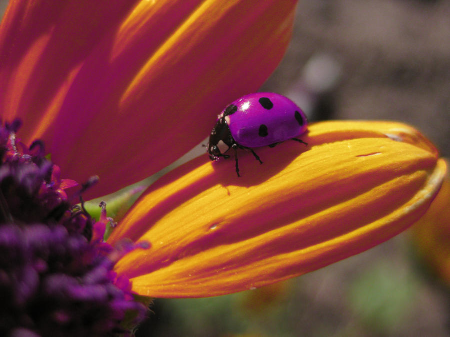 Image result for purple ladybug