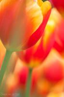 Colorfull close up by SvanderHolst