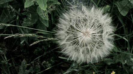 Dandelion by Simplistical