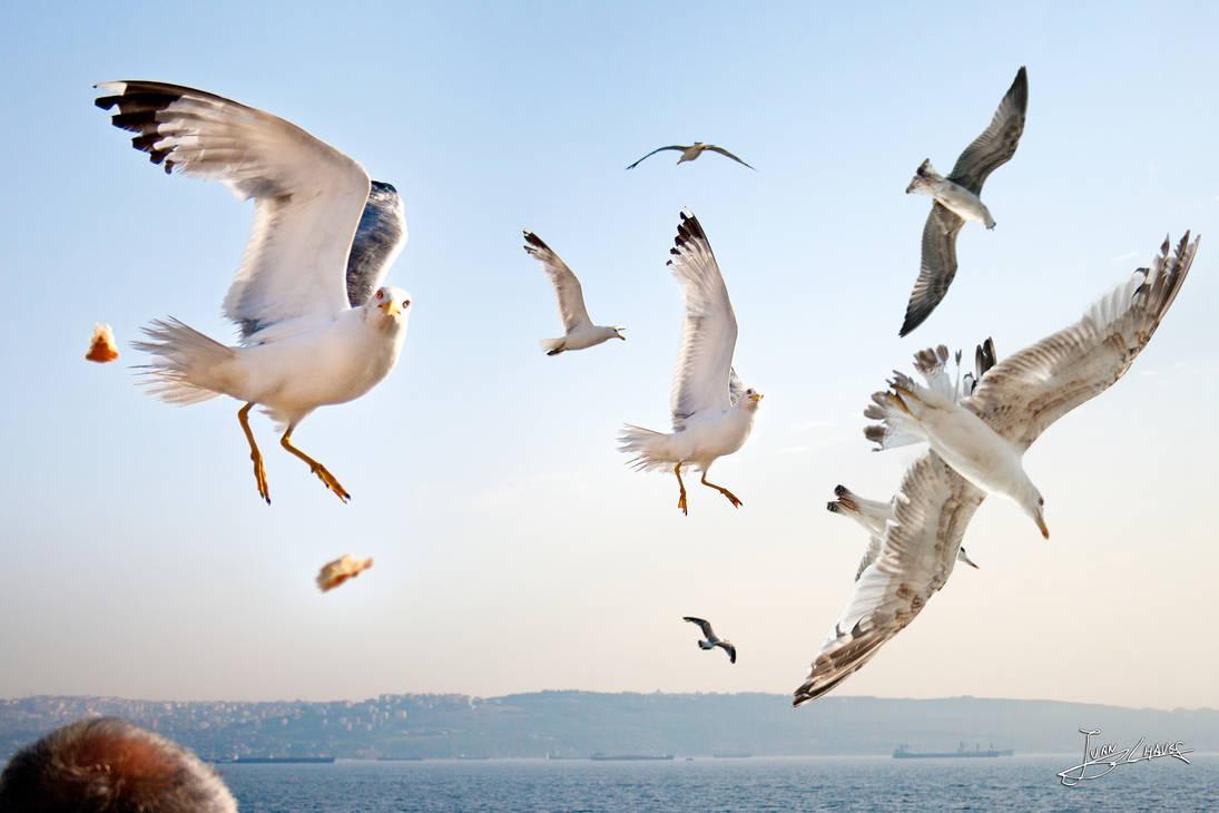 seagulls by JuanC-MLG