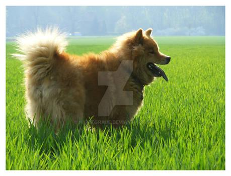 Green field Dog