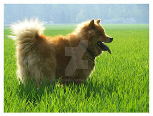 Green field Dog