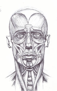 anatomy study muscles of face n neck