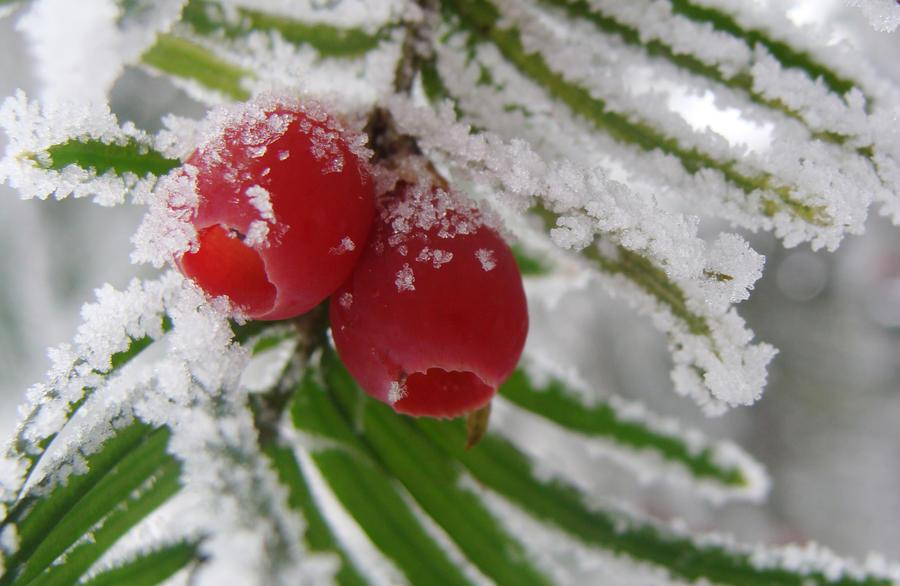 Berry tree by malaladanila