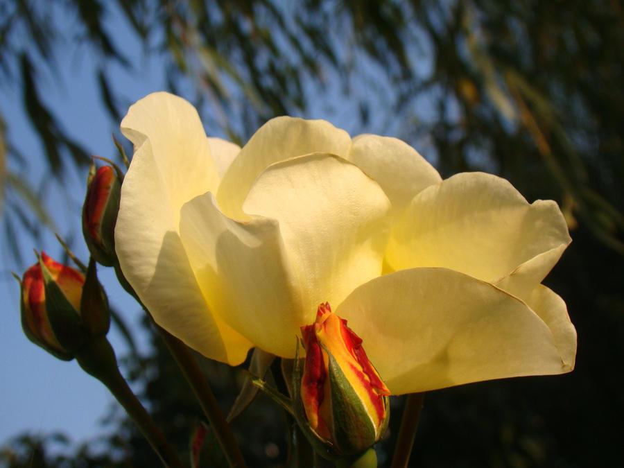 Yellow rose by malaladanila