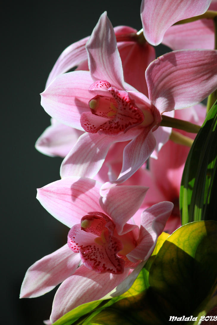Orhidee4 by malaladanila