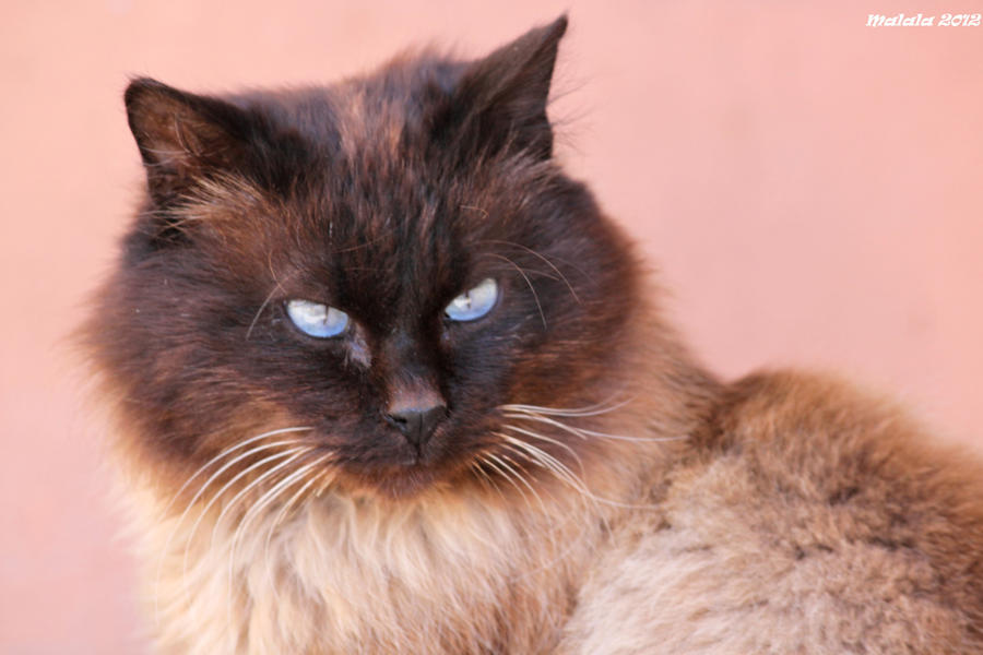 Cat by malaladanila