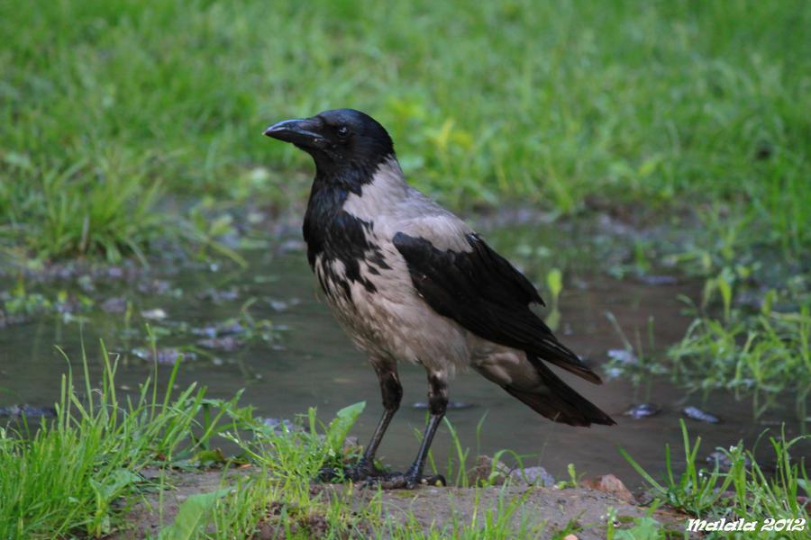 Corvus corone cornix by malaladanila