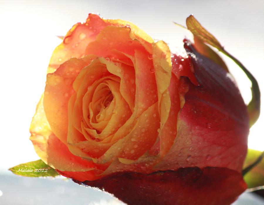 Artflower-dorinta by malaladanila