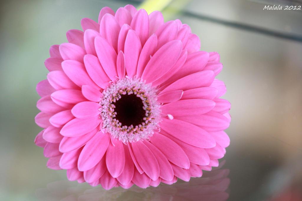 Pink by malaladanila
